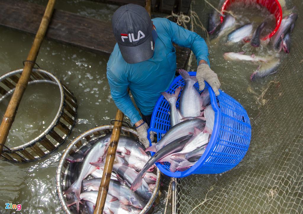 Giá cá tra lao dốc, người nuôi lỗ nặng - Ảnh 4.