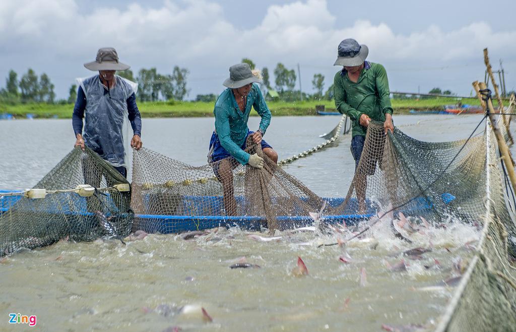 Giá cá tra lao dốc, người nuôi lỗ nặng - Ảnh 1.