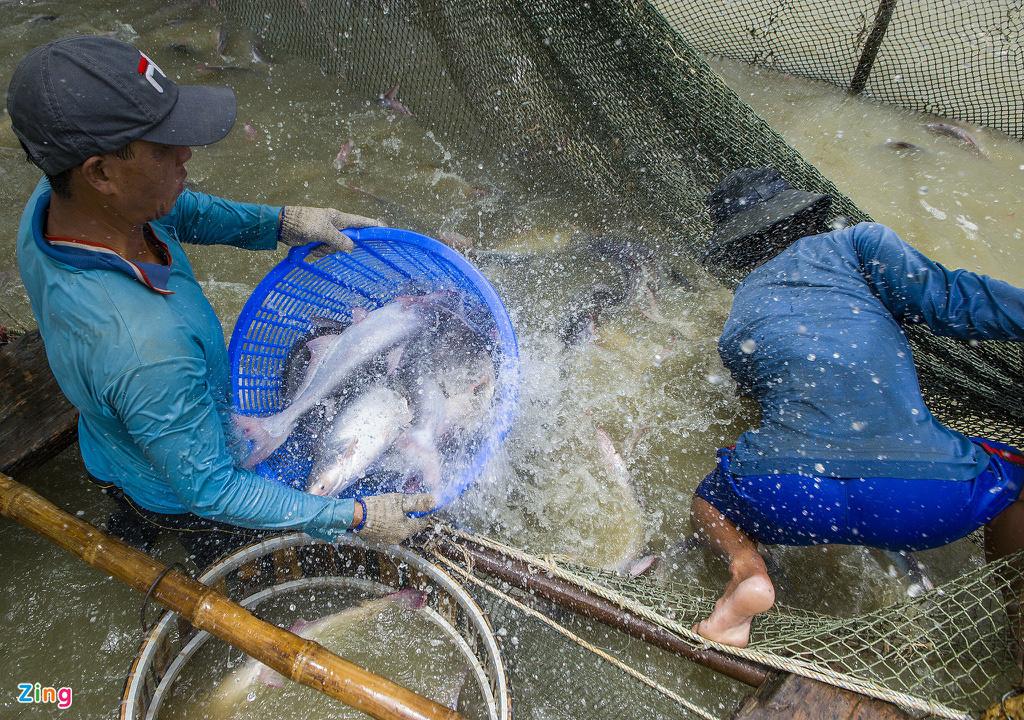 Giá cá tra lao dốc, người nuôi lỗ nặng - Ảnh 7.