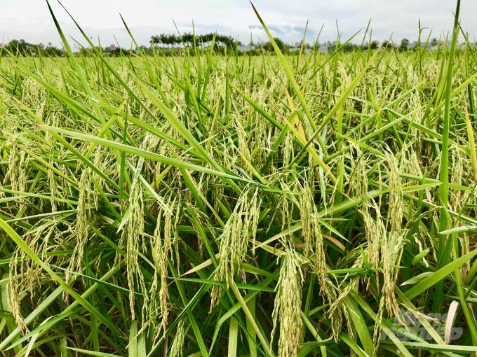 'Cha đẻ' gạo ST25 vẫn âm thầm nâng tầm gạo Việt - Ảnh 2.
