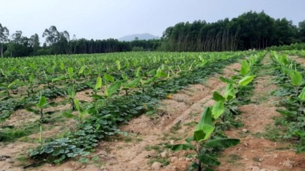 Quảng Ngãi phát triển nông nghiệp theo hướng sản xuất hàng hóa - Ảnh 1.