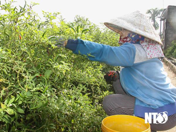 Ninh Thuận: Trồng thứ cây ra trái cay xé lưỡi, giá bán đắt, nông dân hái mỏi tay, thương lái tiết lộ điều bất ngờ - Ảnh 1.
