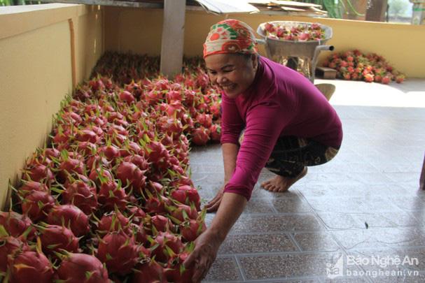 """Ông nông dân biến """"vùng đất chết"""" thành vựa thanh long lớn nhất Nghệ An, có quả nặng cả kg - Ảnh 1."""