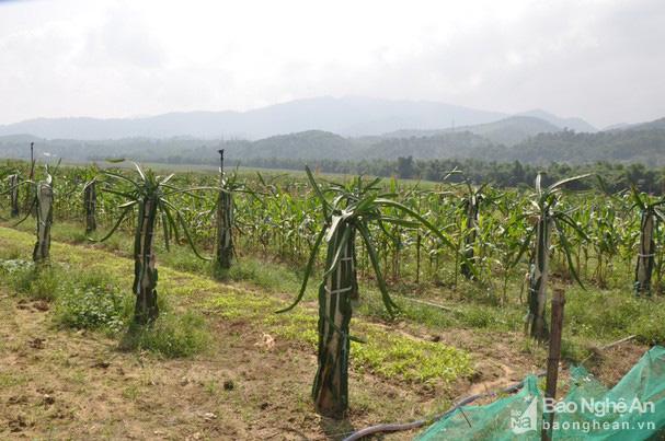"""Ông nông dân biến """"vùng đất chết"""" thành vựa thanh long lớn nhất Nghệ An, có quả nặng cả kg - Ảnh 5."""