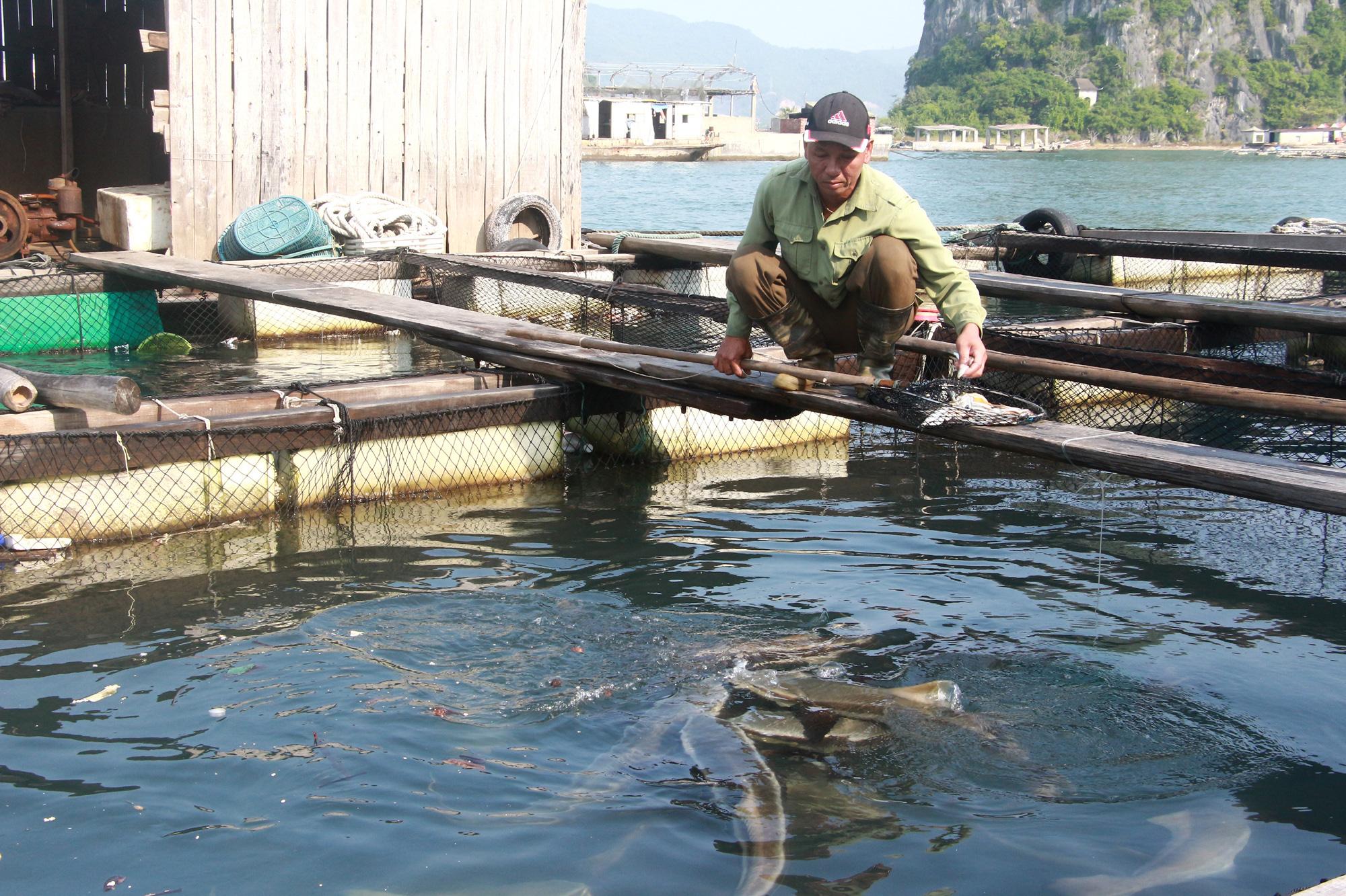 Sản vật biển tỉnh Quảng Ninh: Nuôi loài cá giò con to như bắp đùi người lớn, thịt ngọt, giá mềm là vì điều này - Ảnh 1.