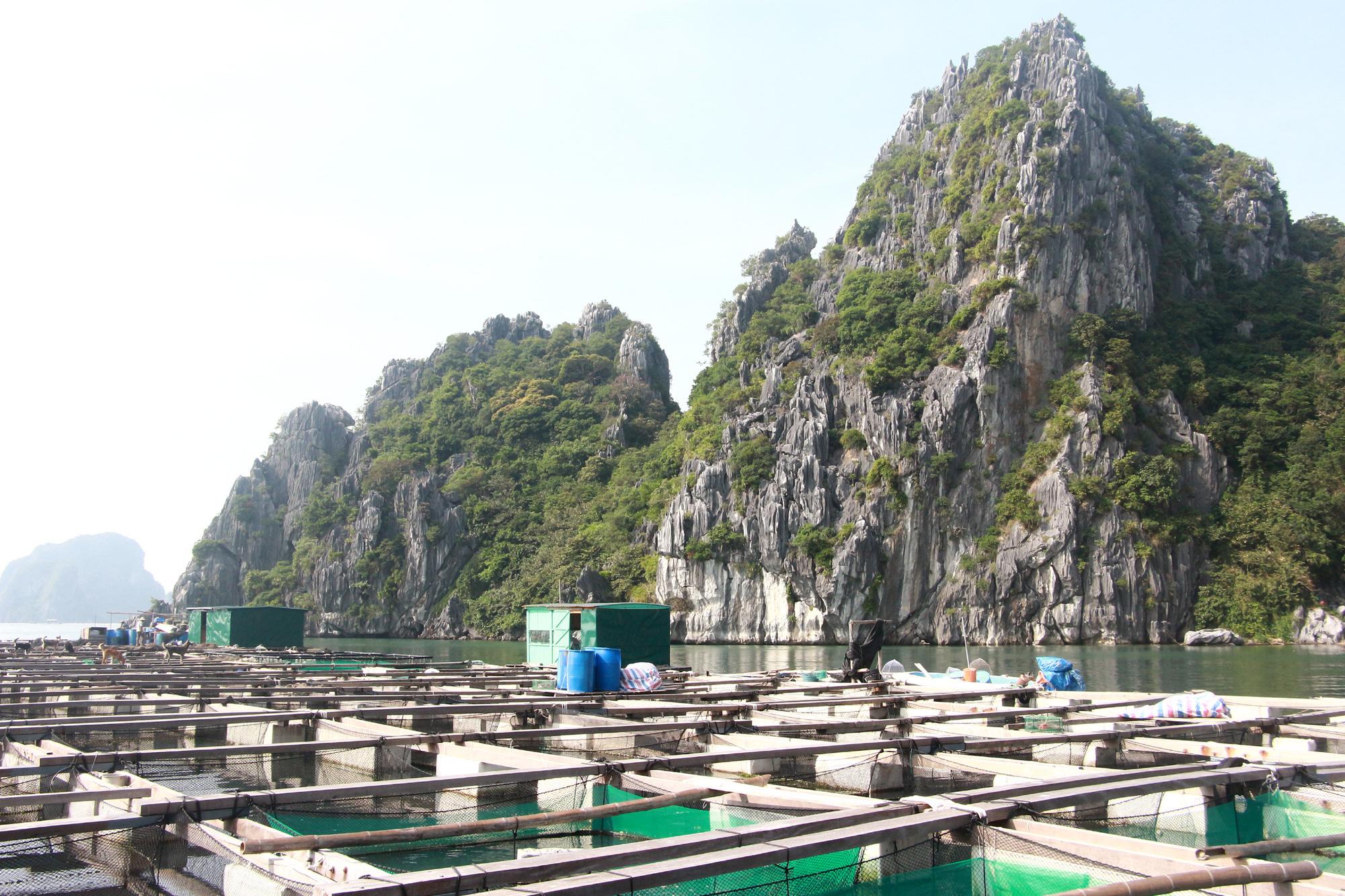 Sản vật biển tỉnh Quảng Ninh: Nuôi loài cá giò con to như bắp đùi người lớn, thịt ngọt, giá mềm là vì điều này - Ảnh 3.