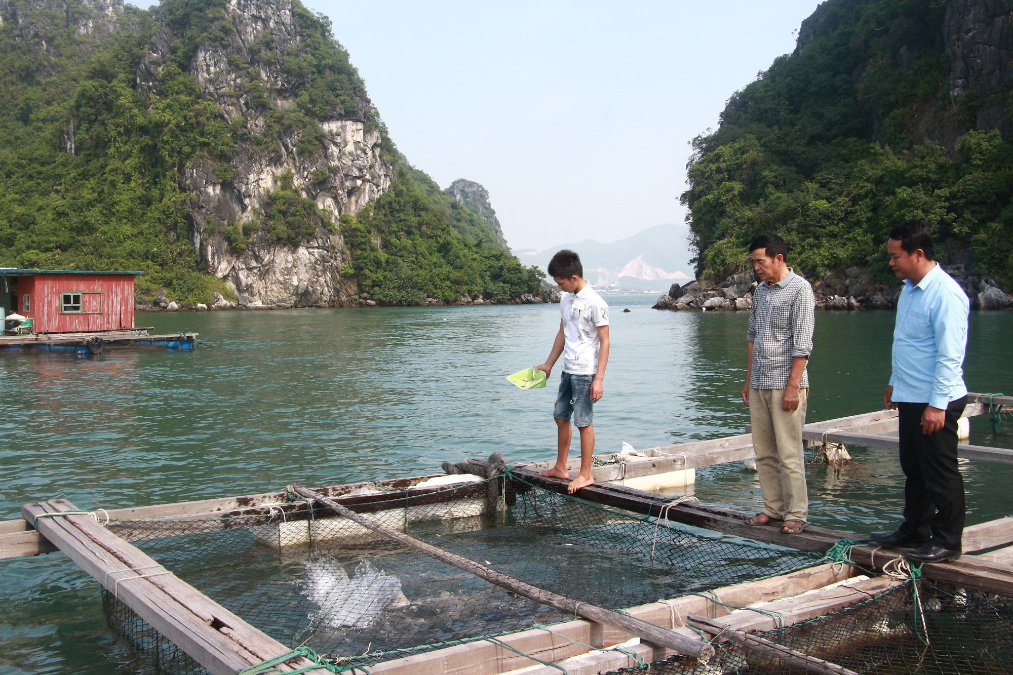 Sản vật biển tỉnh Quảng Ninh: Nuôi loài cá giò con to như bắp đùi người lớn, thịt ngọt, giá mềm là vì điều này - Ảnh 5.