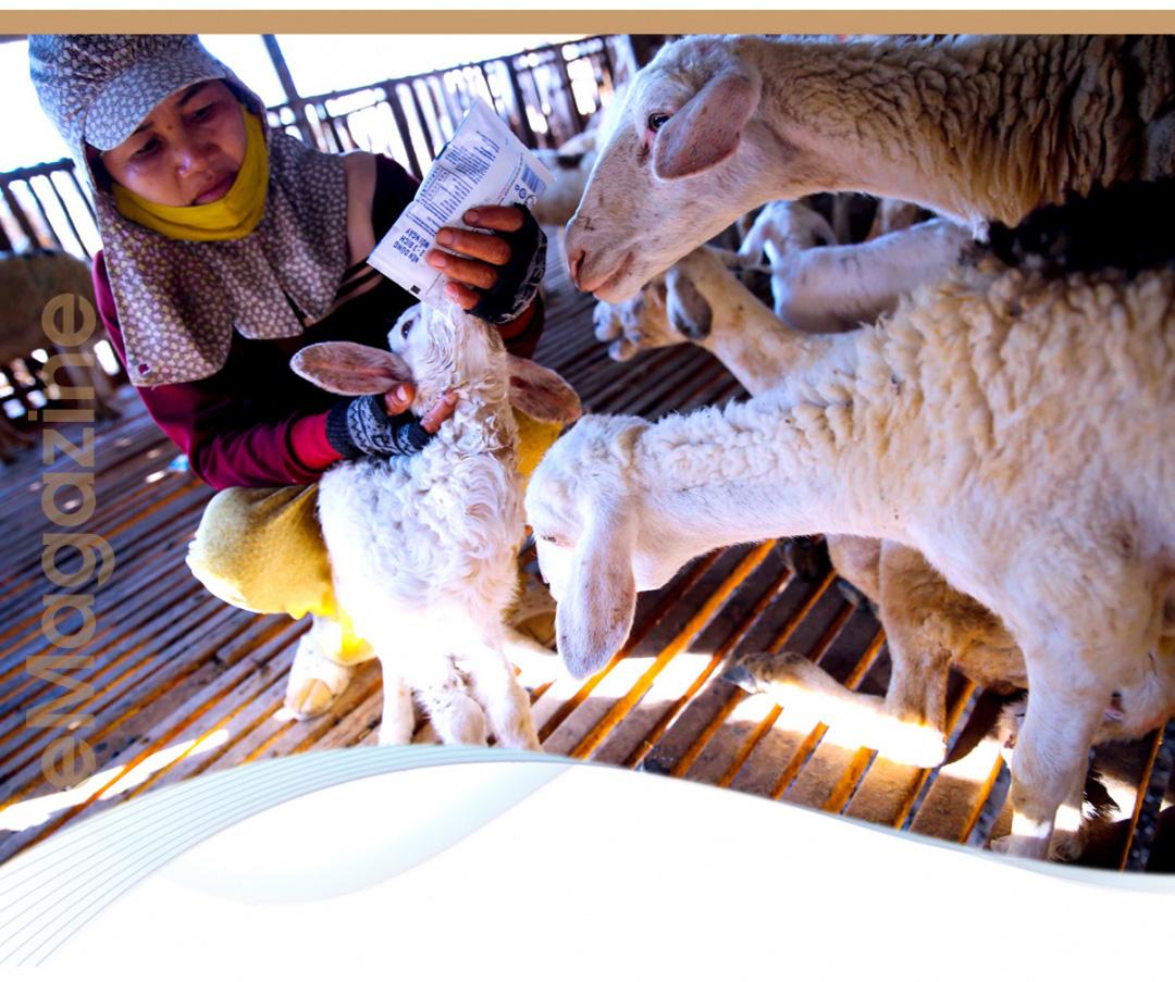 Nhiều tỉnh đã nuôi được cừu, nhưng nuôi bán thịt thì chỉ có tỉnh nào? - Ảnh 4.