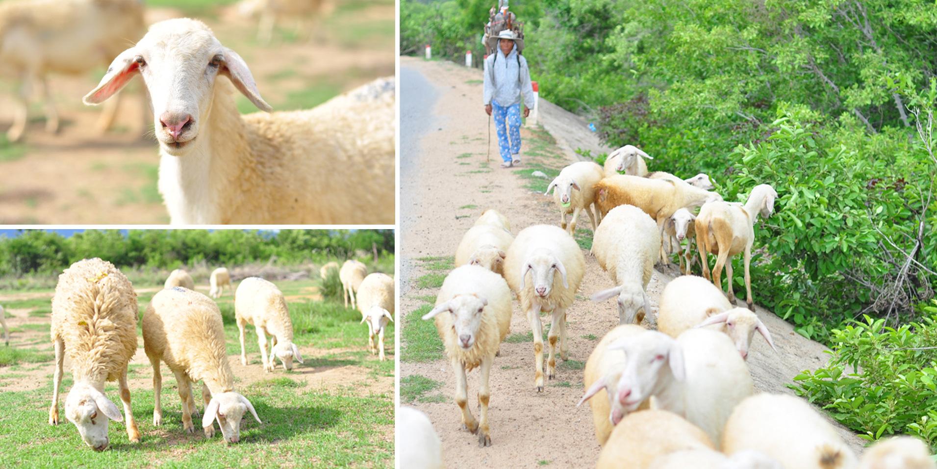 Nhiều tỉnh đã nuôi được cừu, nhưng nuôi bán thịt thì chỉ có tỉnh nào? - Ảnh 2.