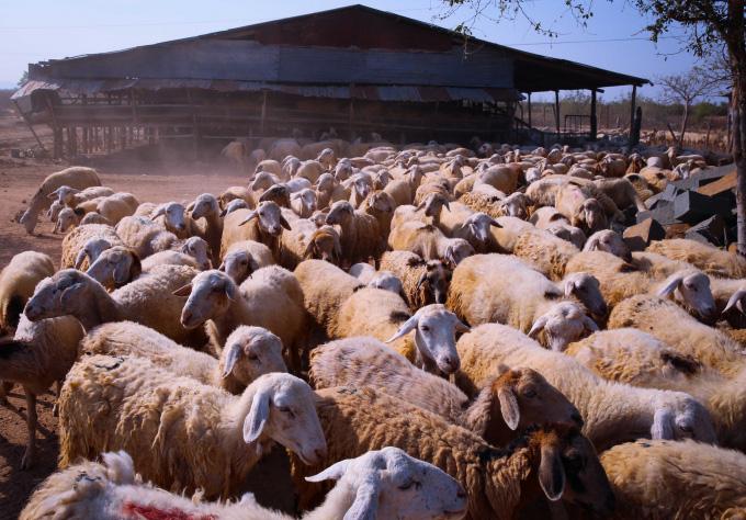Nhiều tỉnh đã nuôi được cừu, nhưng nuôi bán thịt thì chỉ có tỉnh nào? - Ảnh 14.
