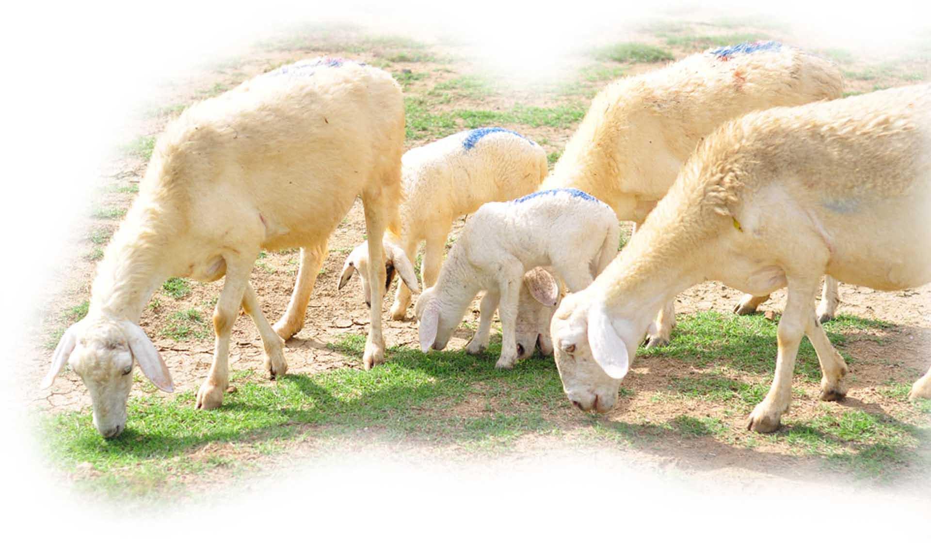 Nhiều tỉnh đã nuôi được cừu, nhưng nuôi bán thịt thì chỉ có tỉnh nào? - Ảnh 13.
