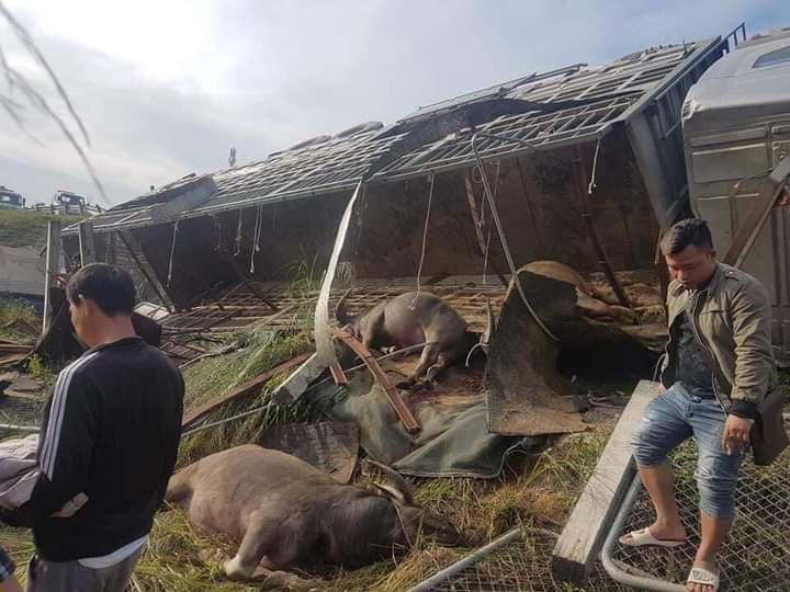 Thái Nguyên tông vào lan can đường xe chở trâu lật nhào khiến nhiều con chết tại chỗ - Ảnh 1.