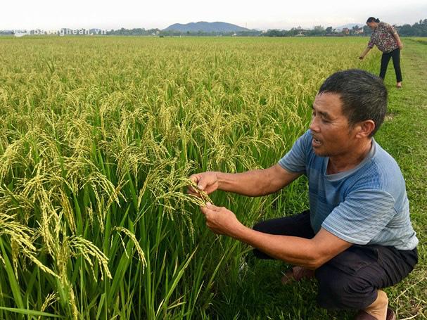TT-Huế: Phát triển vùng sản xuất lúa chất lượng cao gần 25.000ha - Ảnh 1.