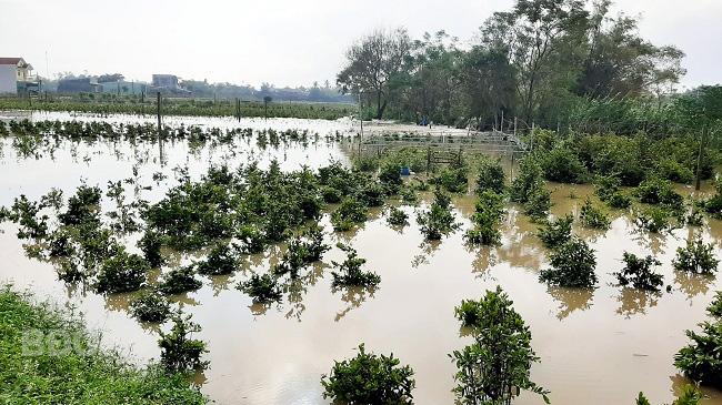 Bình Định: Nước lũ ngập sâu tứ bề, nông dân khổ sở ngâm mình mò cứu những cây mai cảnh đi sơ tán - Ảnh 1.