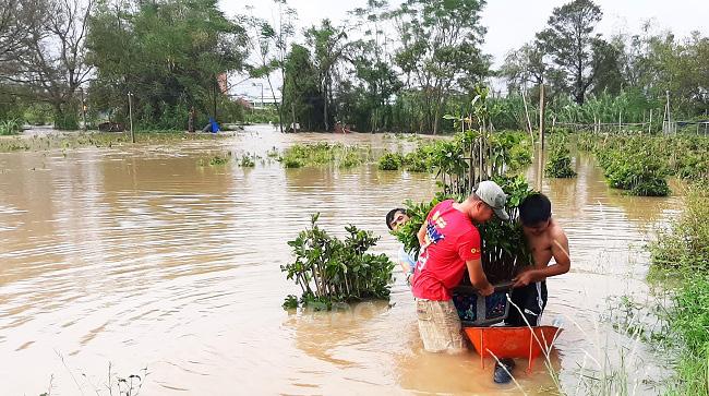 Bình Định: Nước lũ ngập sâu tứ bề, nông dân khổ sở ngâm mình mò cứu những cây mai cảnh đi sơ tán - Ảnh 2.
