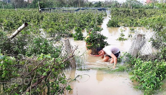 Bình Định: Nước lũ ngập sâu tứ bề, nông dân khổ sở ngâm mình mò cứu những cây mai cảnh đi sơ tán - Ảnh 3.