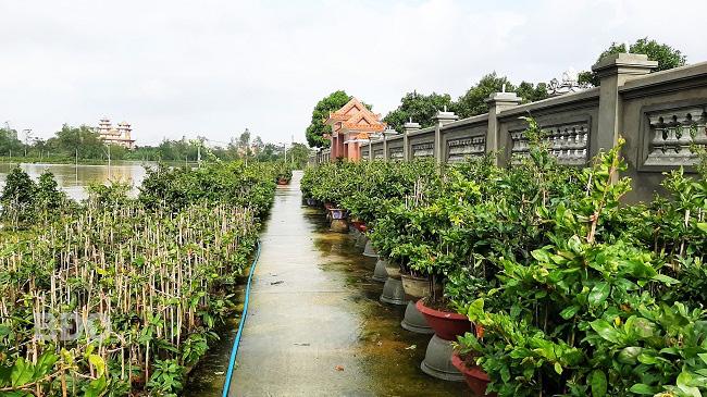 Bình Định: Nước lũ ngập sâu tứ bề, nông dân khổ sở ngâm mình mò cứu những cây mai cảnh đi sơ tán - Ảnh 4.