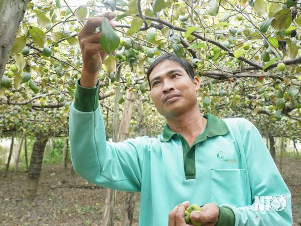 Ninh Thuận: Trồng táo trái ra la liệt, hái mỏi tay, bất ngờ hơn là nuôi thêm dê ăn lá táo, thu bộn tiền - Ảnh 1.