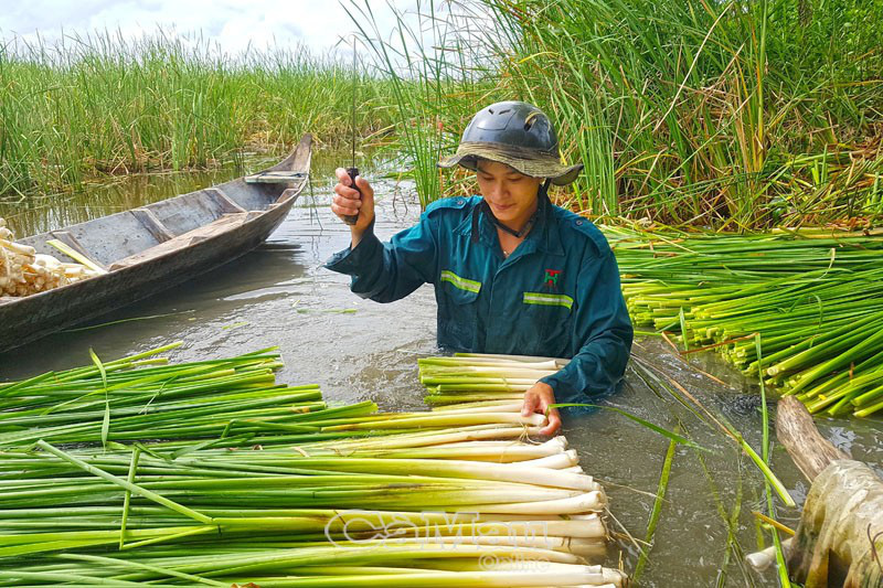 Cà Mau: Nông dân vùng này phát tài nhờ trồng loài cỏ dại làm rau đặc sản, dưới thả cá đồng dân câu mê tít - Ảnh 1.