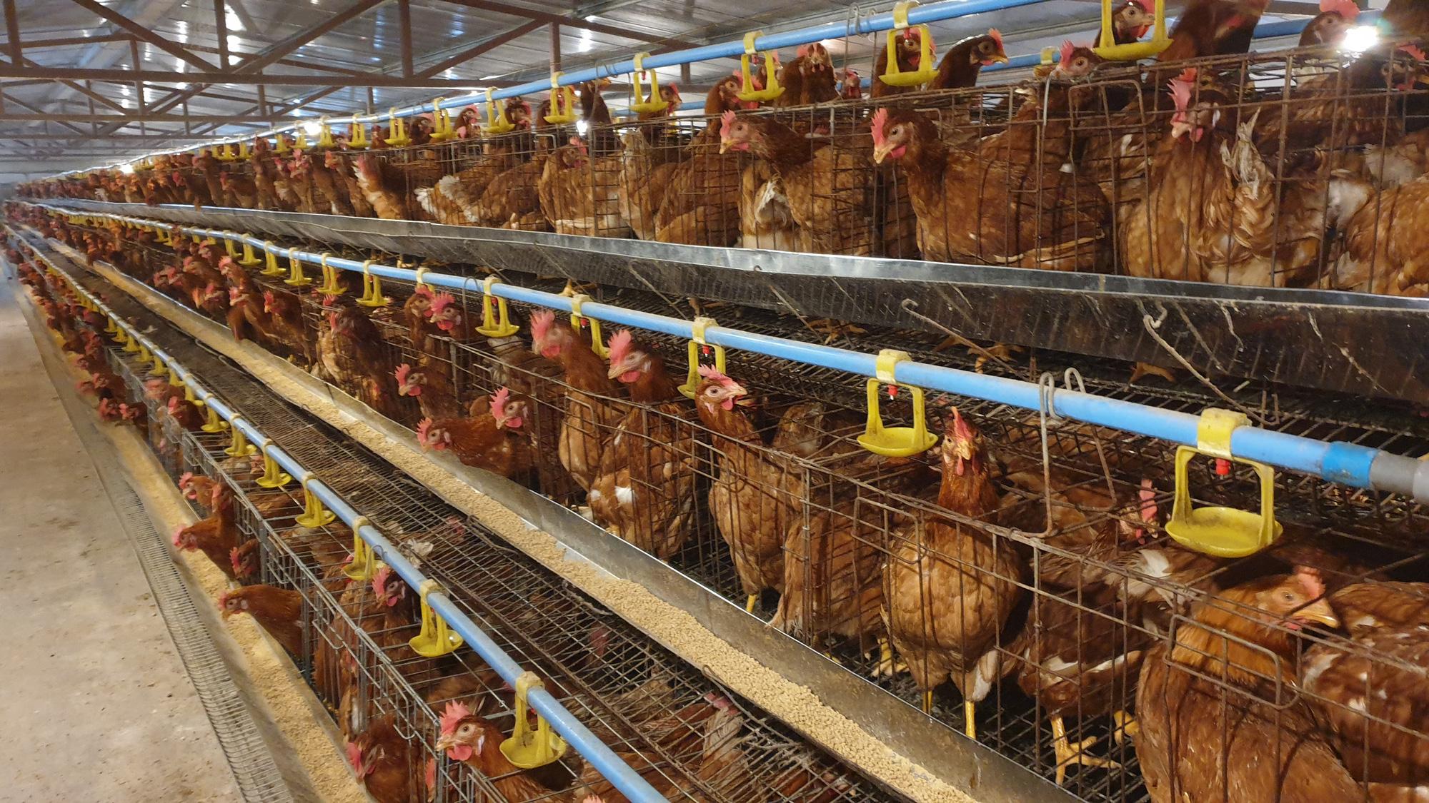 Nam Định: Bỏ việc văn phòng về quê nuôi gà đẻ, trứng bán cho siêu thị, 8x thu tiền tỷ/năm. - Ảnh 3.