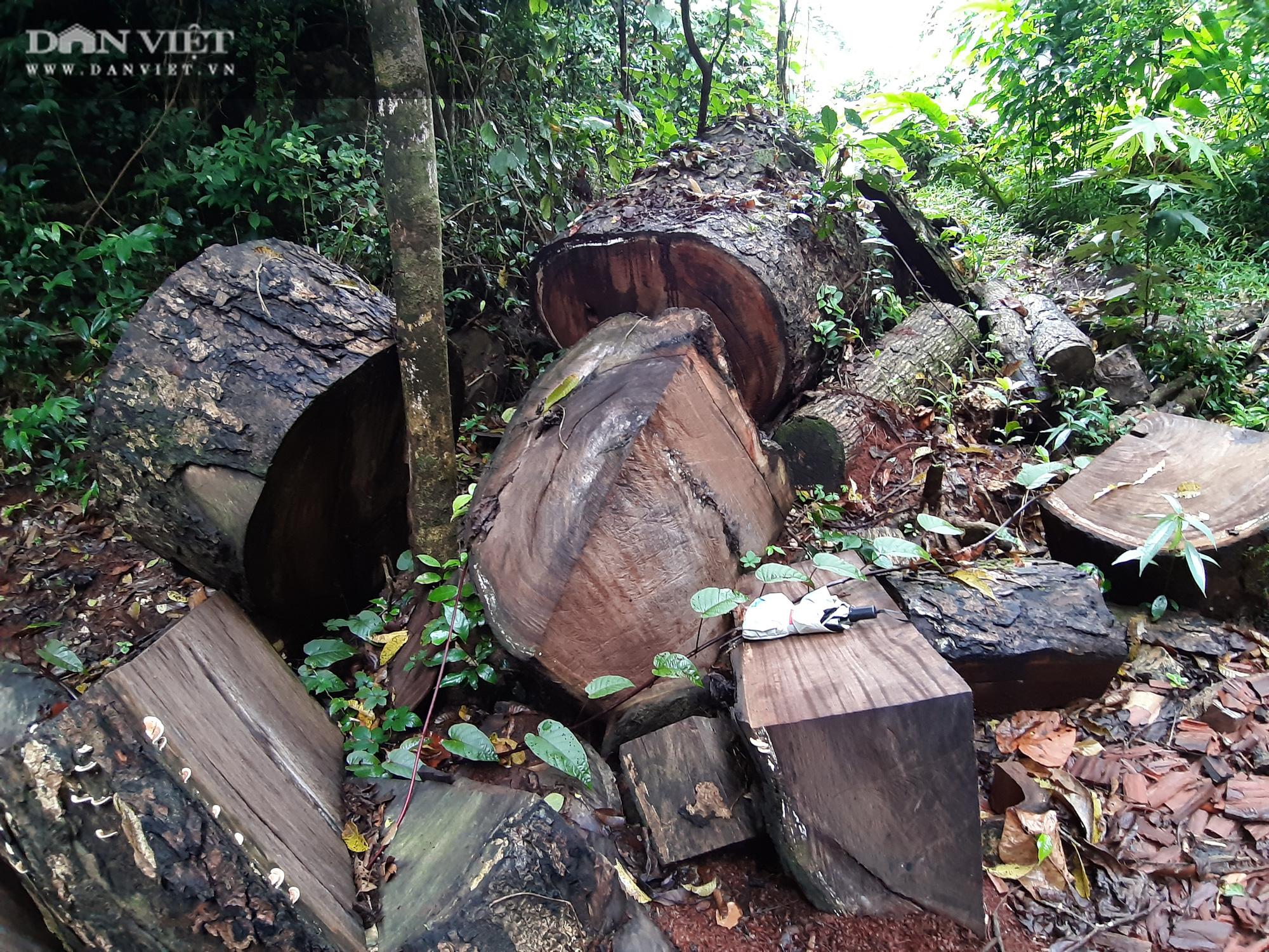 Lời man trá trong các rừng nghiến khổng lồ: Tận mục những cánh rừng tàn sát! - Ảnh 3.