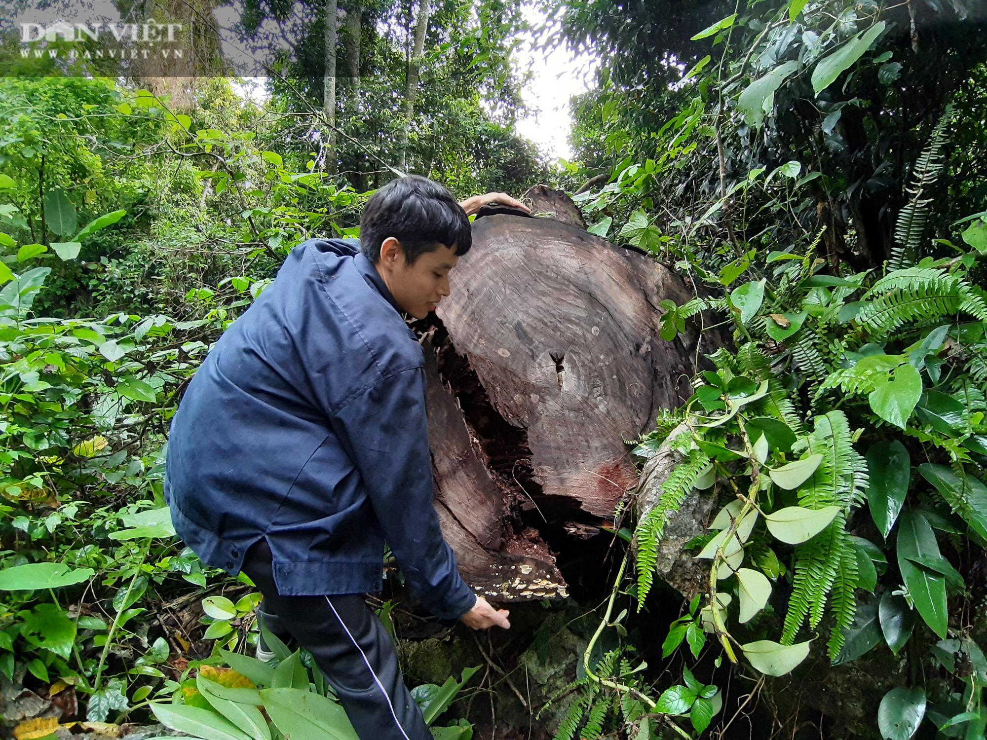 Lời man trá trong các rừng nghiến khổng lồ: Tận mục những cánh rừng tàn sát! - Ảnh 4.