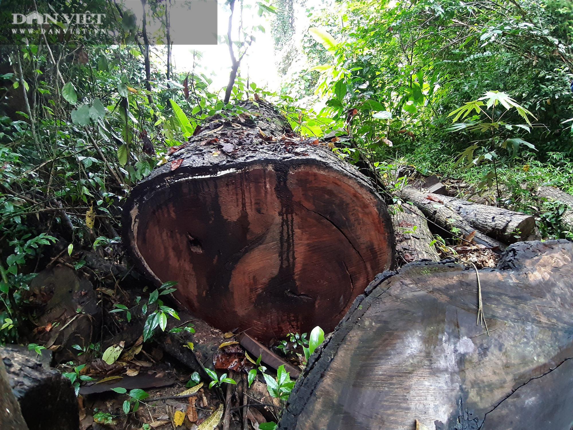 Lời man trá trong các rừng nghiến khổng lồ: Tận mục những cánh rừng tàn sát! - Ảnh 7.