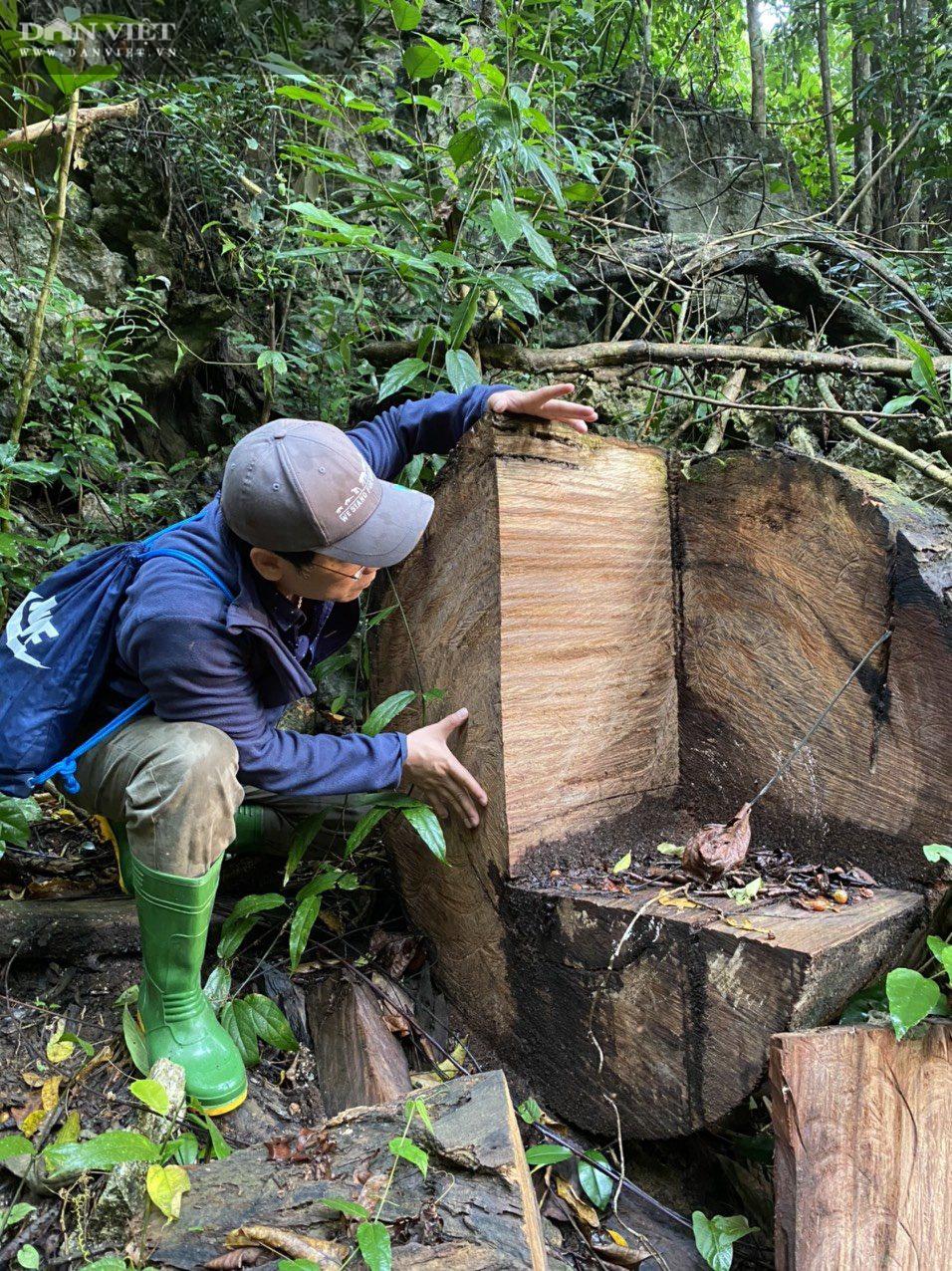 Lời man trá trong các rừng nghiến khổng lồ: Tận mục những cánh rừng tàn sát! - Ảnh 2.