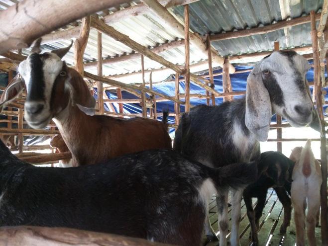 Phú Yên: Nuôi hàng trăm con tai dài chỉ ăn cỏ uống nước lã, ông nông dân này giàu có - Ảnh 5.