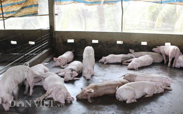 Cho heo ăn ngủ trong chuồng lạnh, nông dân Đồng Nai khỏe ru - Ảnh 3.