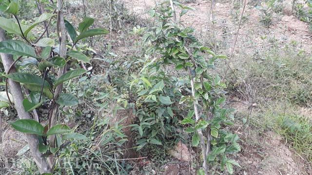 Trồng loài cây bổ thận tráng dương ba kích tím, bán giá 200.000 đồng/kg, càng để lâu càng đắt giá - Ảnh 3.