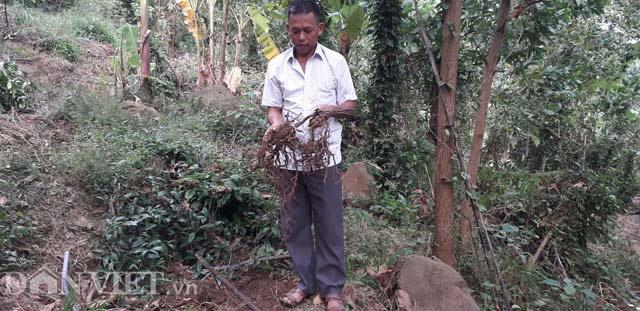 Trồng loài cây bổ thận tráng dương ba kích tím, bán giá 200.000 đồng/kg, càng để lâu càng đắt giá - Ảnh 4.