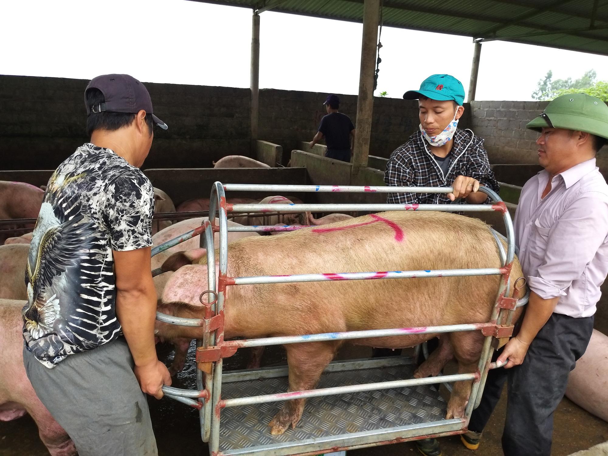 Giá lợn hơi hôm nay (18/11): Đồng loạt giảm ở nhiều địa phương - Ảnh 1.