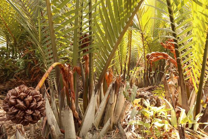 Có một không hai ở Việt Nam: Anh kỹ sư hot boy bắt cây dừa nước tiết ra mật - Ảnh 1.