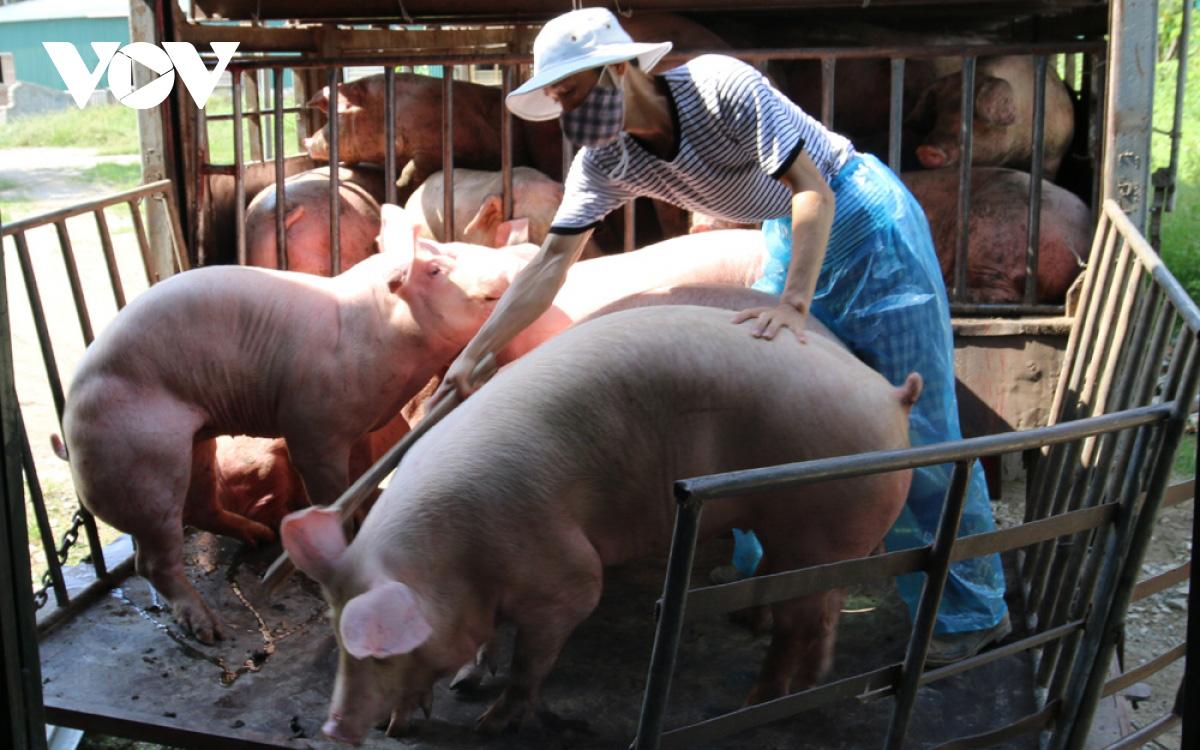Giá lợn tăng, dịch tả lợn tái phát, người chăn nuôi thấp thỏm lo âu - Ảnh 1.