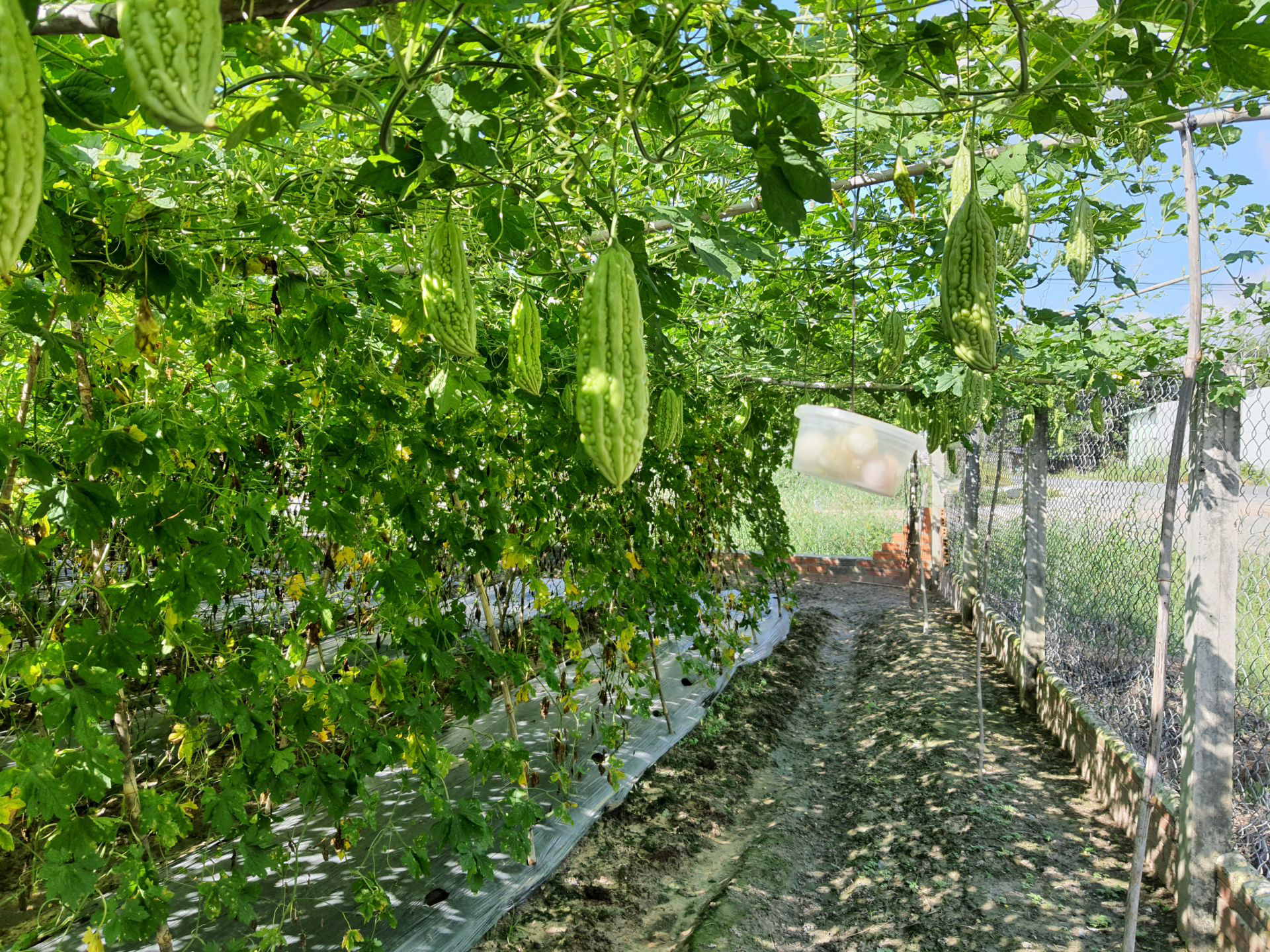 Tây Ninh: Ông nông dân dùng thứ cây có mùi lạ để đuổi côn trùng, cây ra trái bự ngon sạch không có mà bán - Ảnh 2.
