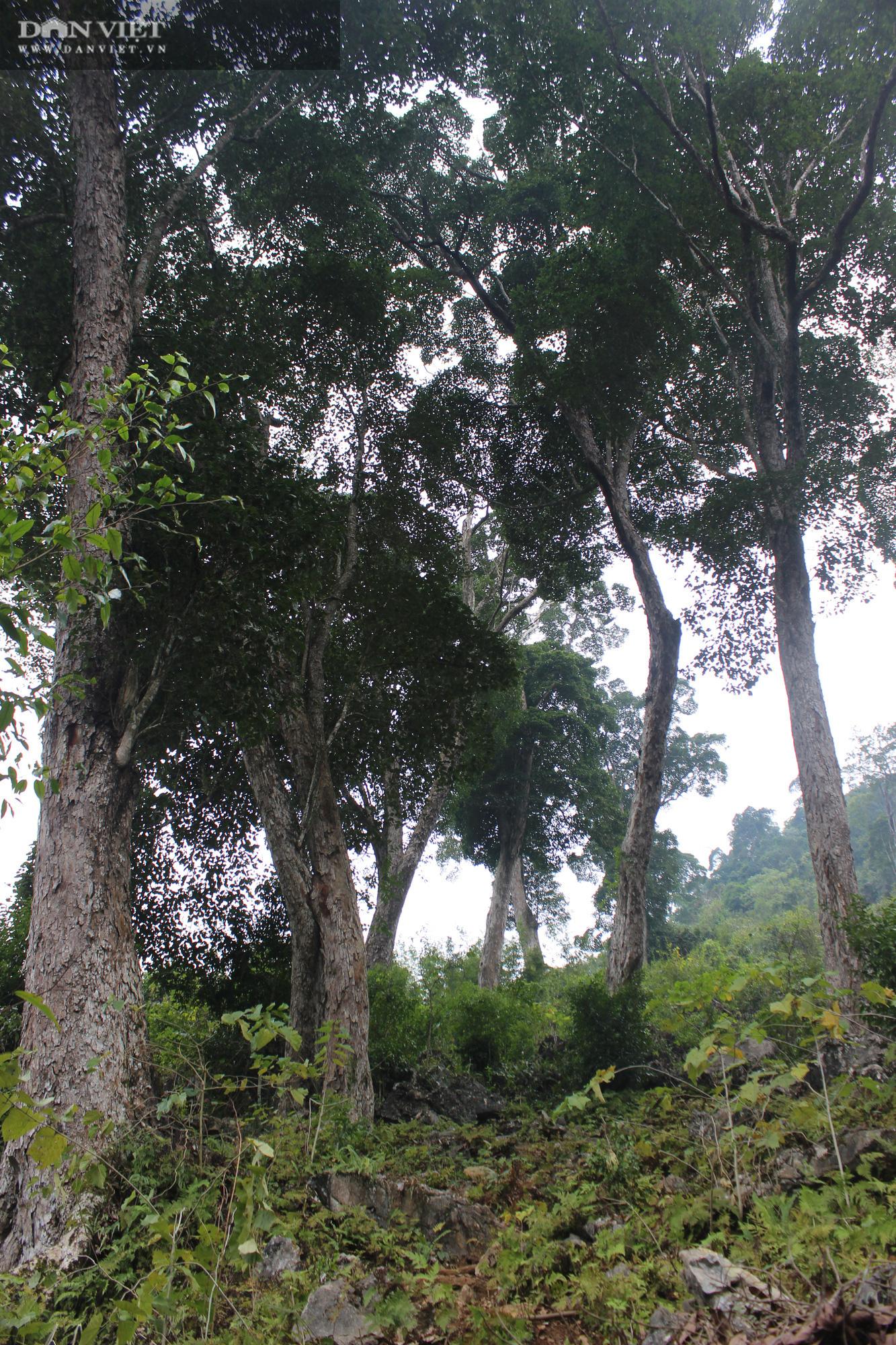 Điều tra độc quyền: Lời man trá trong các rừng nghiến khổng lồ - Ảnh 6.