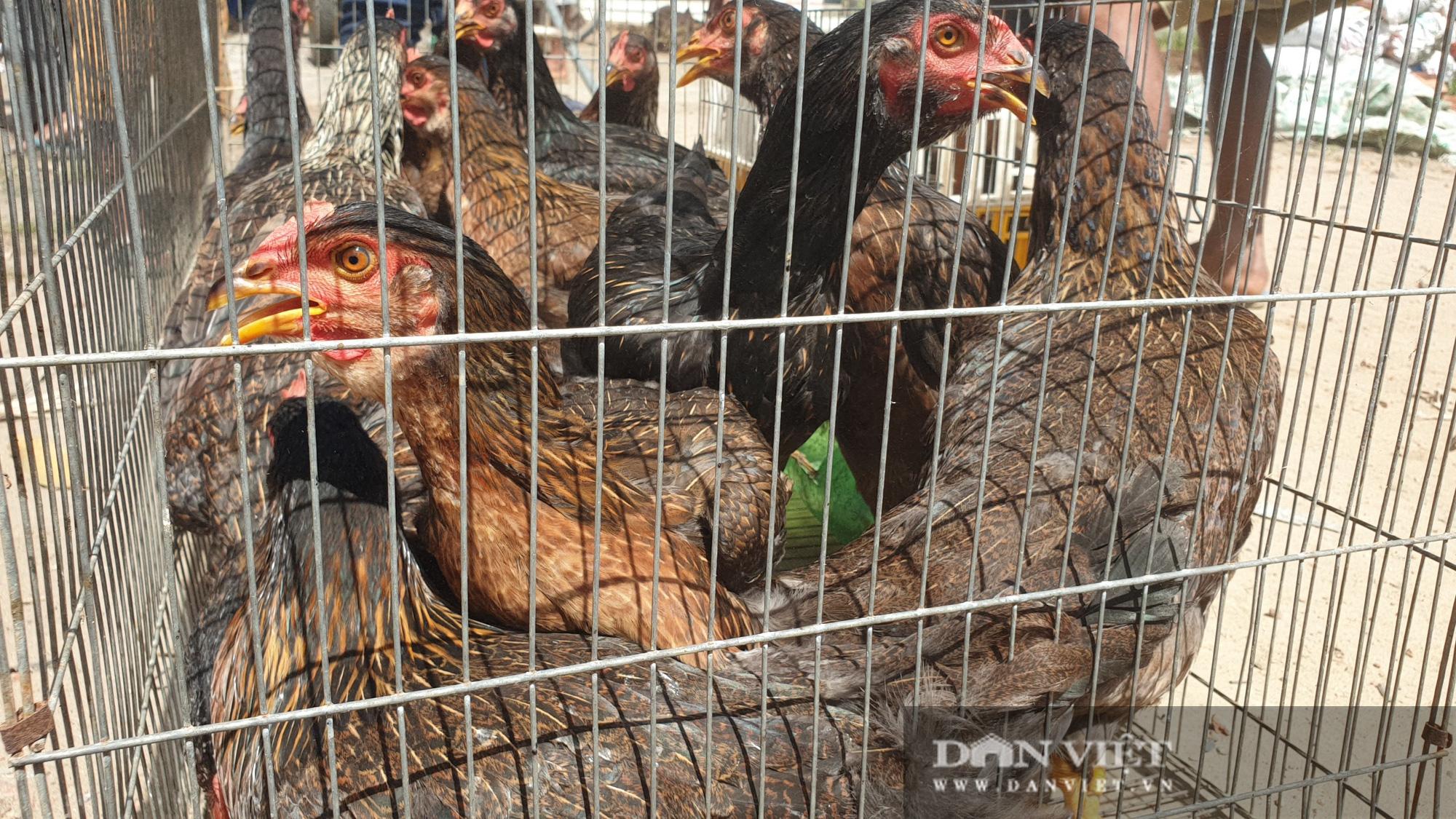Trà Vinh: Người dân xã nghèo vui mừng đi nhận gà đẻ về nuôi miễn phí - Ảnh 2.