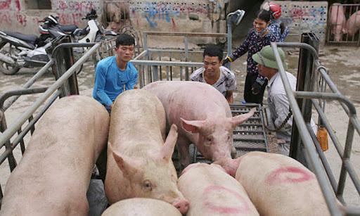 Giá lợn hơi hôm nay (21/11): Giữ giá ổn định ở hầu khắp các tỉnh - Ảnh 1.