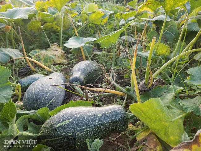Cải thiện dinh dưỡng, tăng thu nhập nhờ trồng bí - Ảnh 3.