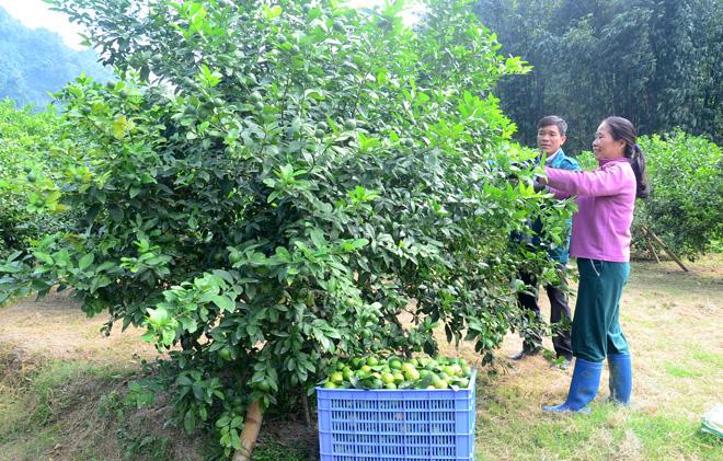 """Tuyên Quang: Nông dân đổ xô trồng chanh tứ quý, ngành chức năng cảnh báo """"nóng"""" - Ảnh 1."""