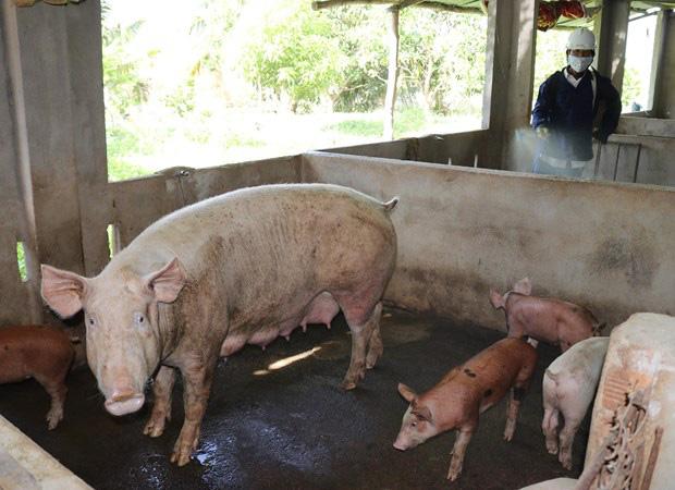 Các địa phương nỗ lực bảo vệ đàn lợn, lo bình ổn giá thịt lợn dịp Tết - Ảnh 4.