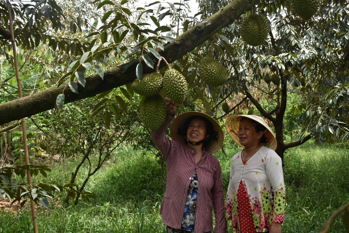 Bến Tre: Bí quyết trồng sầu riêng ra nhiều trái, cứ 1 công đất thu lời 100 triệu đồng, nông dân là tỷ phú - Ảnh 1.