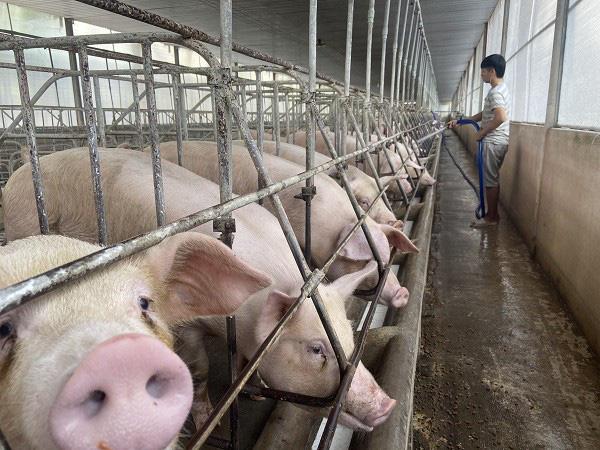 Giá lợn hơi hôm nay (23/11): Điều chỉnh tăng trở lại ở một số địa phương - Ảnh 1.
