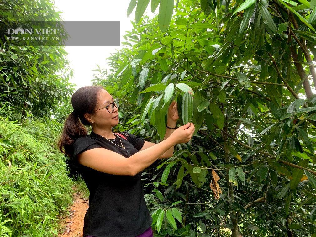 Bắc Kạn: Trồng loài cây cho thu cả thân, lá, vỏ, phát huy tối đa lợi thế sẵn có của địa phương - Ảnh 5.