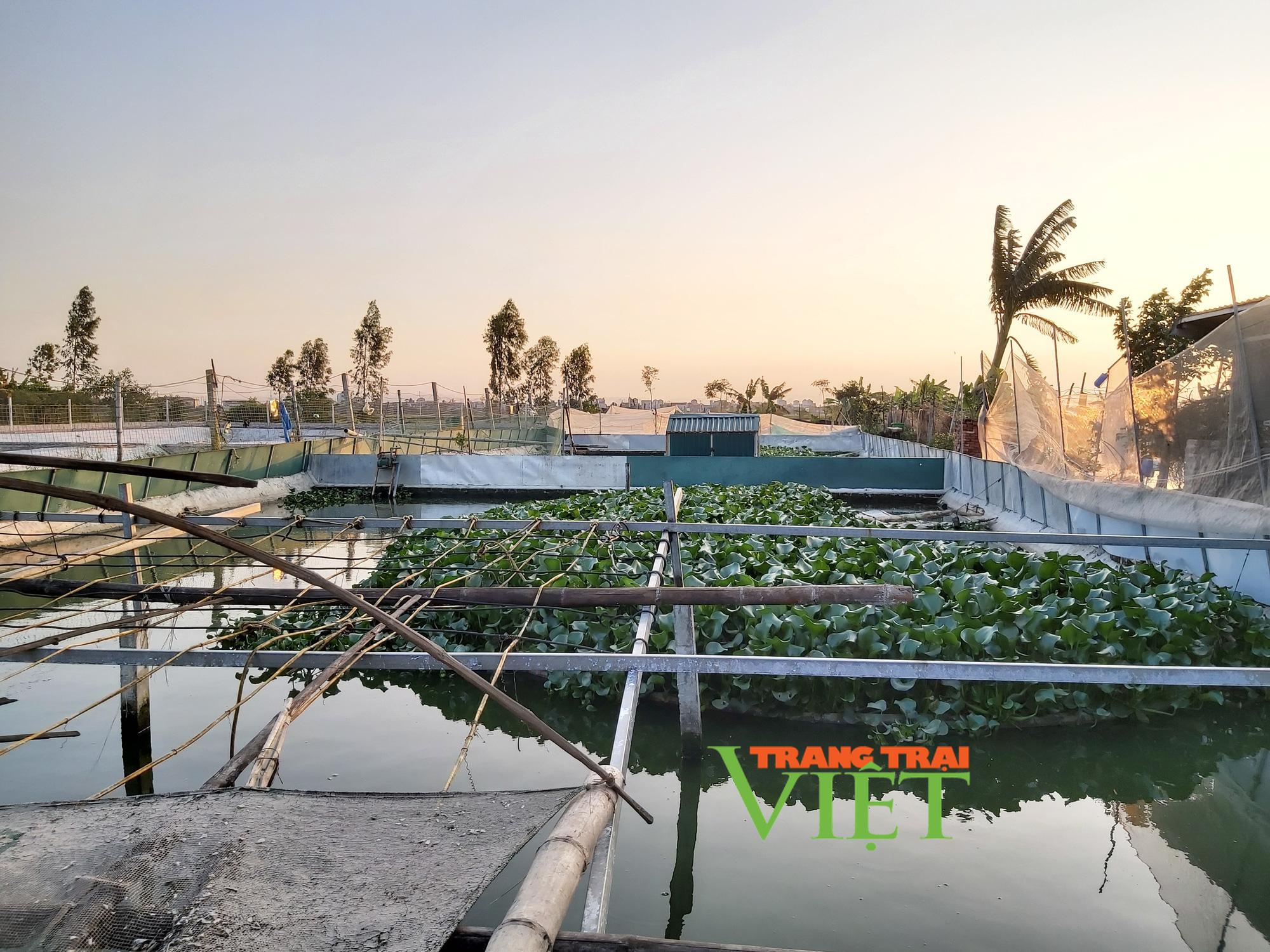 Hà Nội: Lão nông U50 thả nuôi ba ba gai cùng cá chuối hoa,  - Ảnh 7.