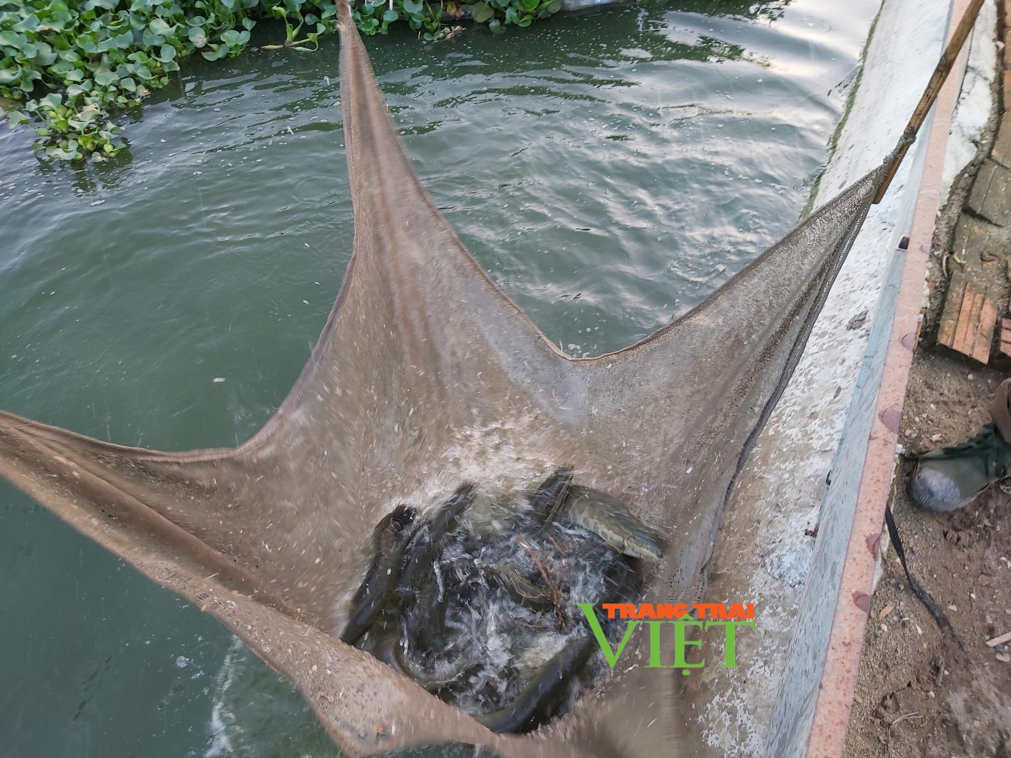 Hà Nội: Lão nông U50 thả nuôi ba ba gai cùng cá chuối hoa,  - Ảnh 11.
