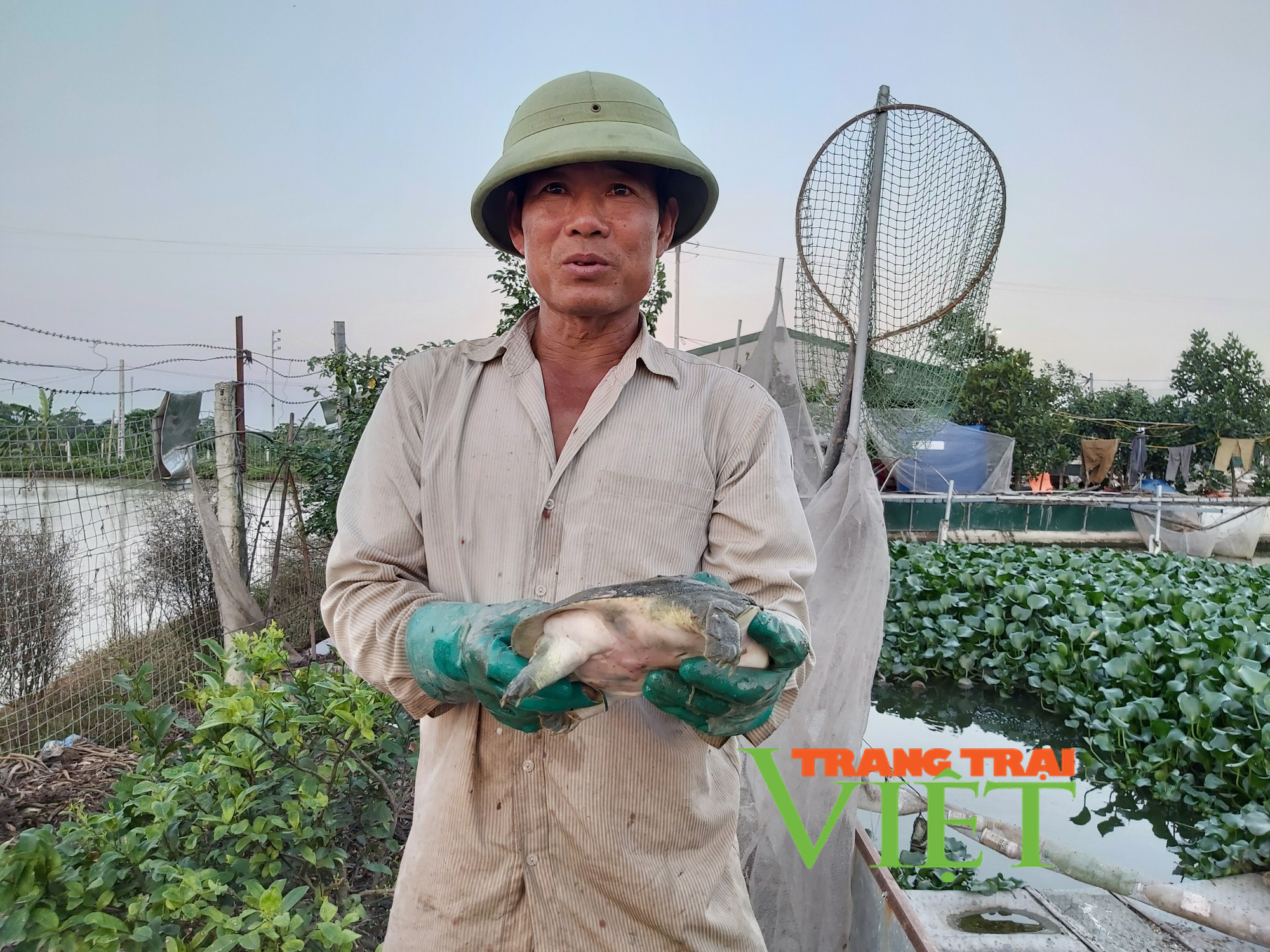 Hà Nội: Lão nông U50 thả nuôi ba ba gai cùng cá chuối hoa,  - Ảnh 2.