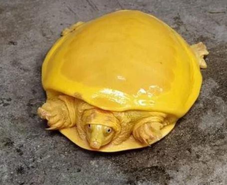 """Bắt được rùa vàng quý hiếm bậc nhất: Đổi đời nhờ """"thần tứ linh"""" - Ảnh 1."""