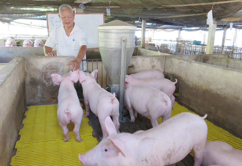 Giá lợn hơi hôm nay (24/11): Miền Nam vẫn giữ mức cao nhất cả nước - Ảnh 1.